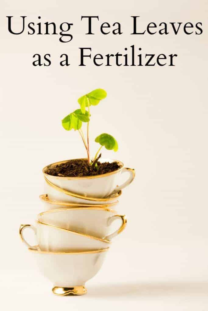 Using Tea Leaves as a Fertilizer - Don't toss your used tea leaves! Share them with your plants! #fertilizer #tea #tealeaves #natural