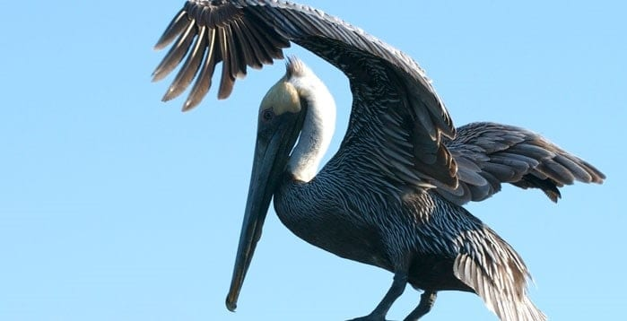 Pelican spreading its wings. Best time of day to see dolphins in South Carolina
