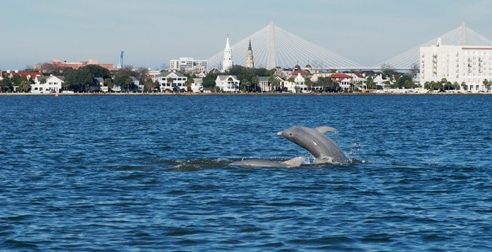 Dolphin jumping out of the water. Dolphin tours Charleston