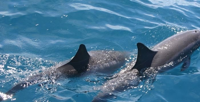 Close look at dolphin fins as they swim by. Types of dolphins in South Carolina