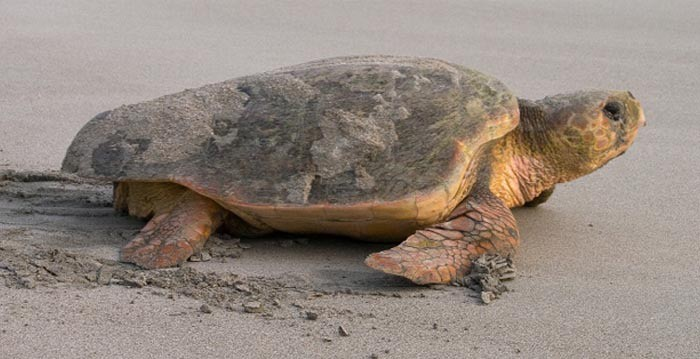 Close look at turtle on the beach. Charleston dolphin tours