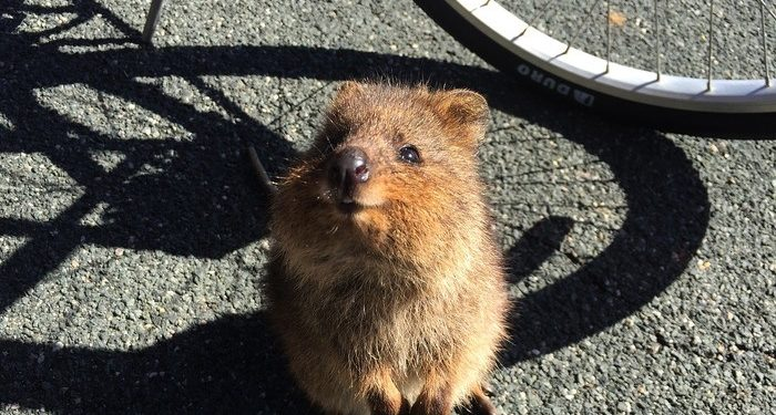 critter might try to join your ride on Rottnest Island