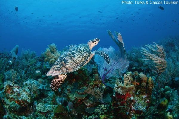 A turks and caicos turtle swimming under water.