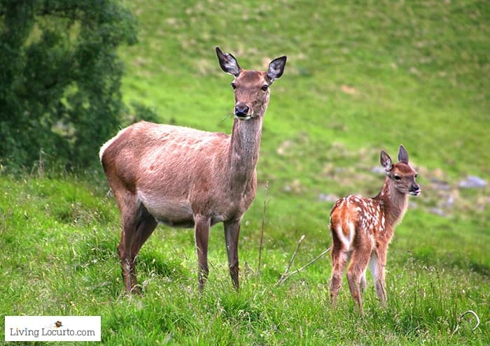 Red Deer and fawn in Scotland. 5 Best Outdoor Scotland Family Vacation Ideas! Amazing nature trips in Scotland for families. Kid friendly Scottish highlands vacation ideas and travel tips.