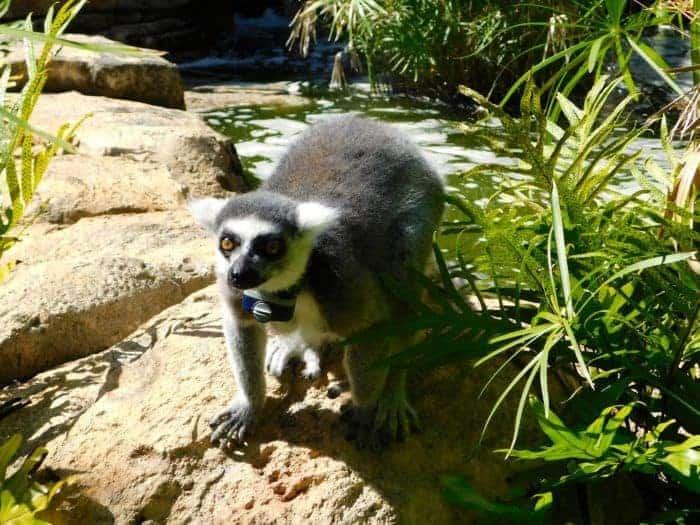 Lemurs at bermuda aquarium