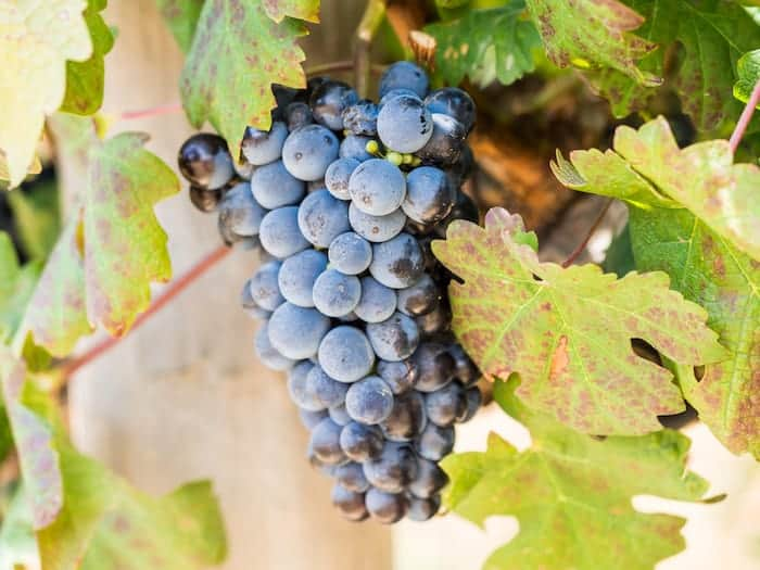 What Does South African Pinotage Red Wine Taste Like? | Winetraveler.com