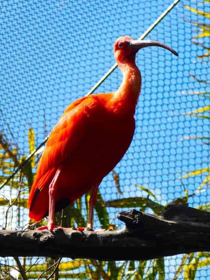 A pink ibis at the bermuda aquarium