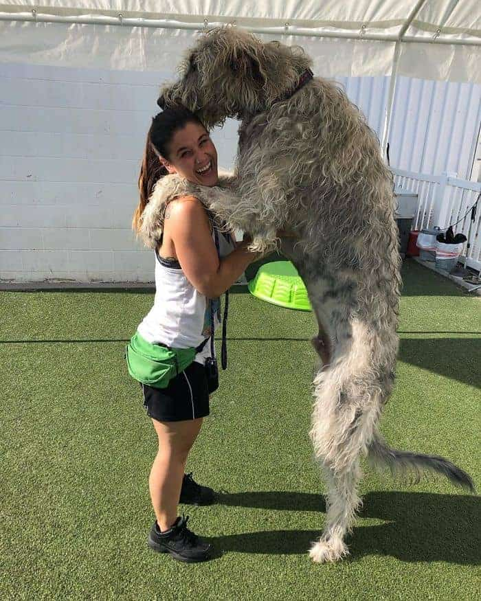 A 5 foot Irish wolfhound standing up