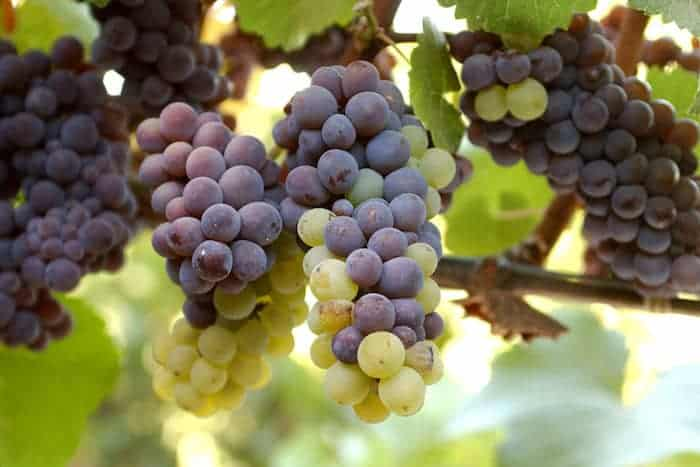Pinot Grigio Wine Taste Description | What's the Difference Between Pinot Grigio and Pinot Gris? | Winetraveler.com