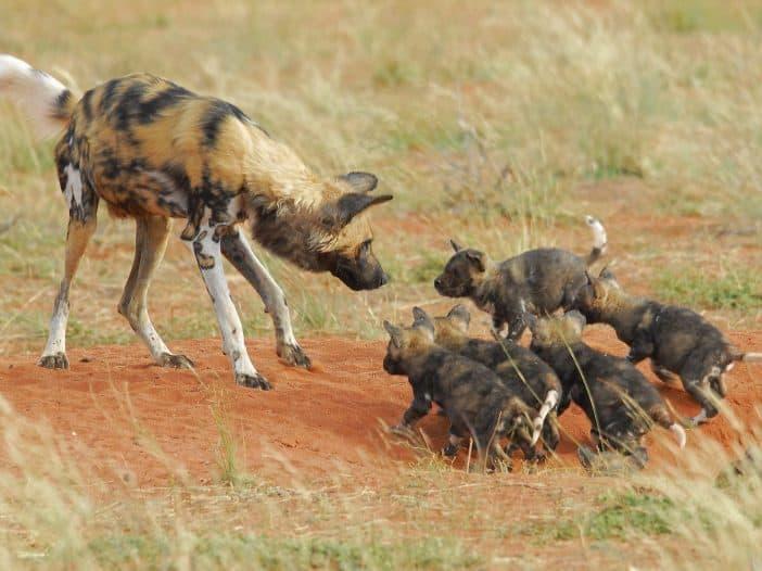 Tswalu Kalahari Trip Report - Wild Dogs