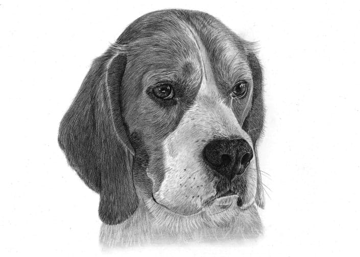 Pencil Drawing of Beagle
