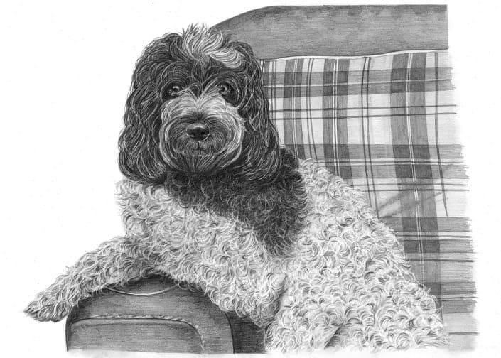 Pencil Drawing of Cockapoo Dog