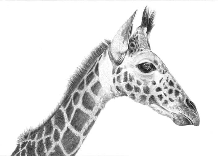 Pencil Drawing of Giraffe