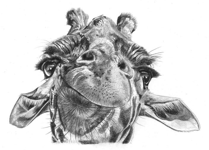 Pencil Portrait of Giraffe