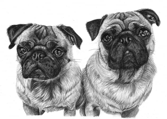Pencil Drawing of Pug Dogs