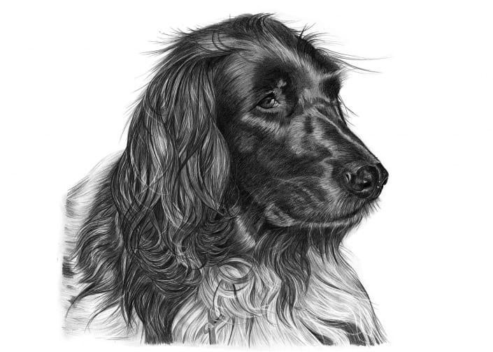 Pencil Portrait of Spaniel Dog