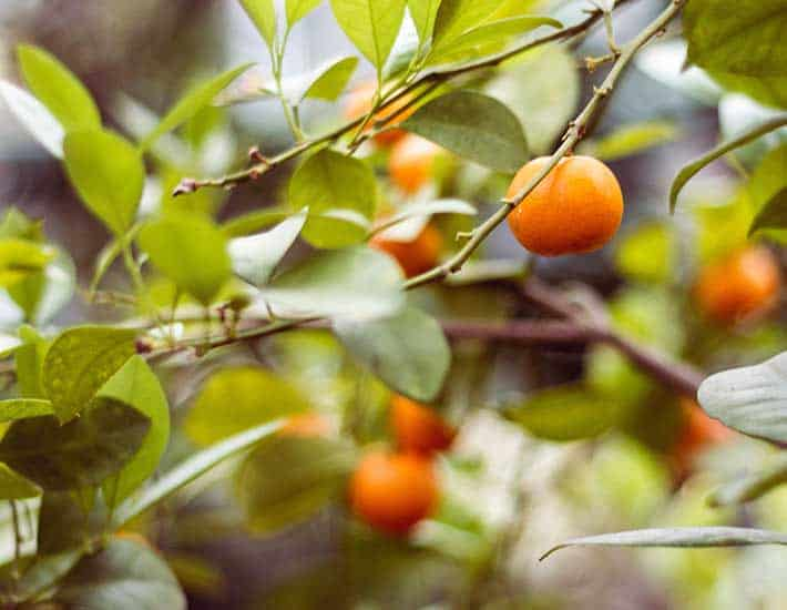Citrus fruit tree to grow together plastic free