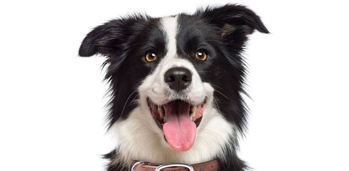 6 Little-Known Facts About A Border Collie 4