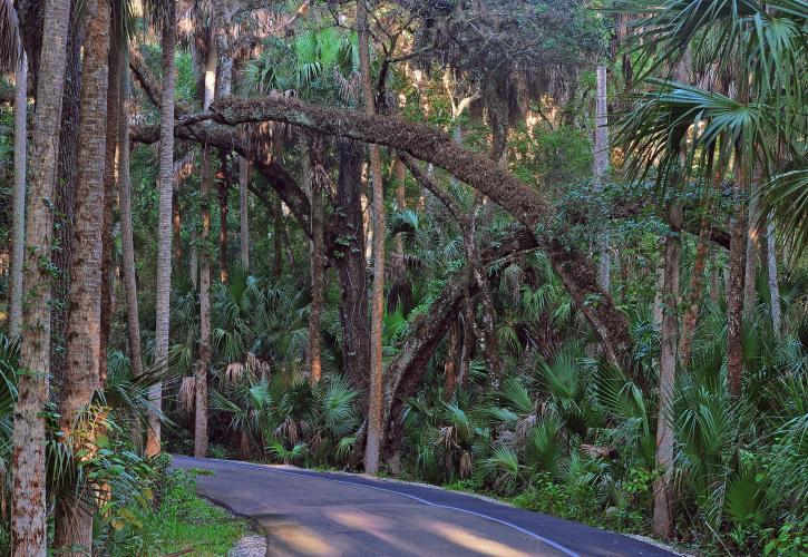 The Loop Drive offers a scenic introduction to Highlands Hammock State Park. (State Park photo by Kevin Main)