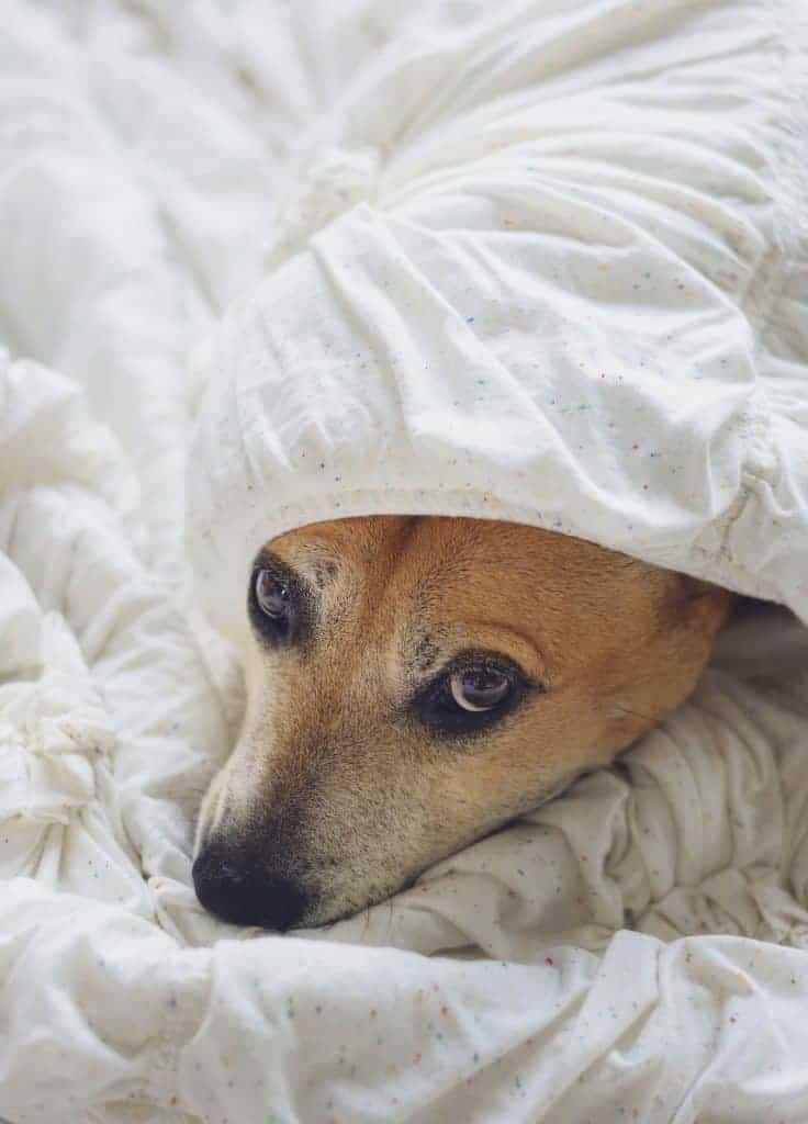 Dog looking guilty under blanket