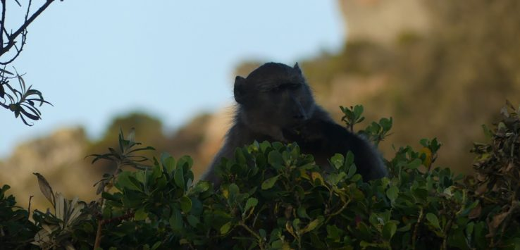 Baboon at Cape Point