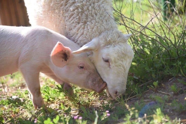 cute sheep and pig