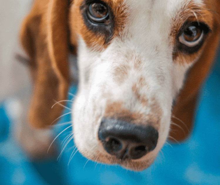 Blastomycosis in dogs is caused by a fungal spore.