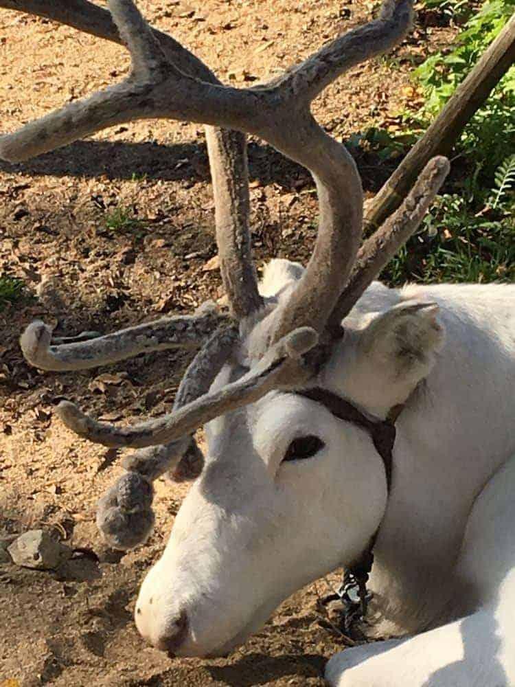 The impressive antlers of a lapland reindeer