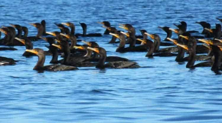 Hundreds of cormorants floated in a tight group on Pine Island Sound during our kayak outing from Cabbage Key. (Photo by Bonnie Gross)