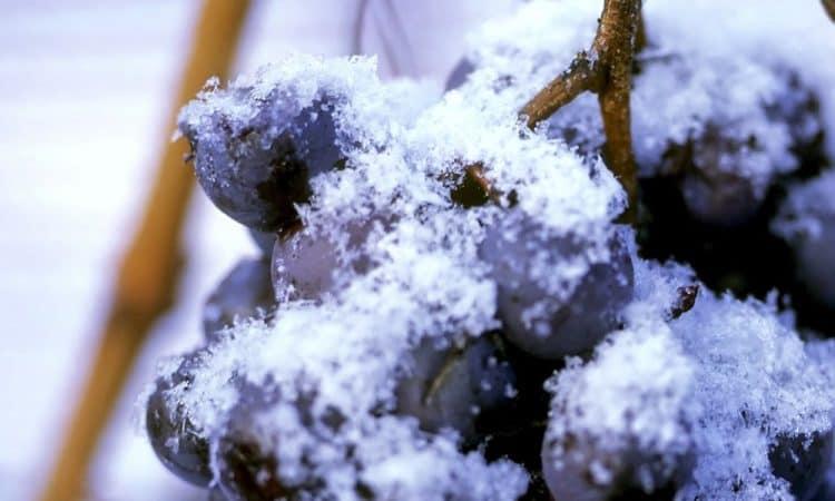 Chiomonte Vino del ghiaccio