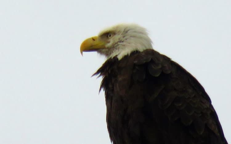 Eagle in Merritt Island National Wildlife Refuge, one of two we spotted. (Photo: David Blasco)