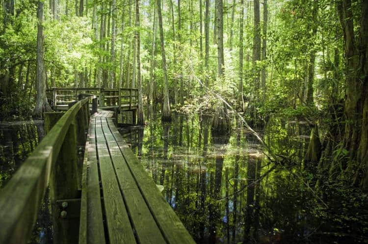 Cypress Swamp Trail at Highlands Hammock State Park. (Photo by Greg Urbano)