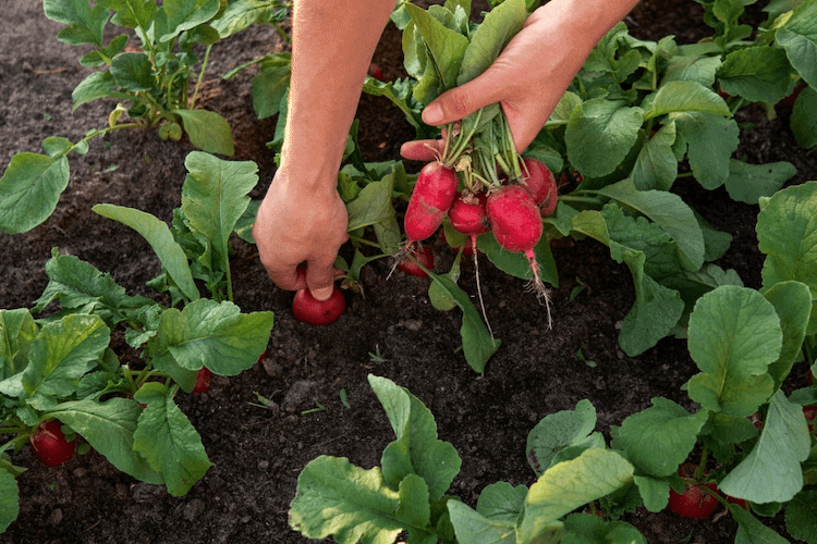 Radishes vegetable in india