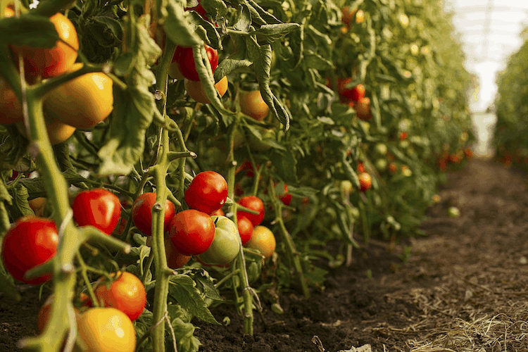 Tomatoes plant in india
