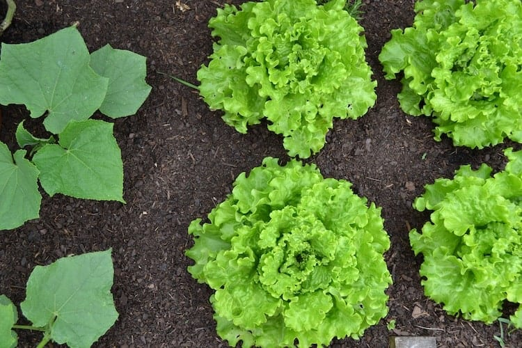when to plant mustard greens