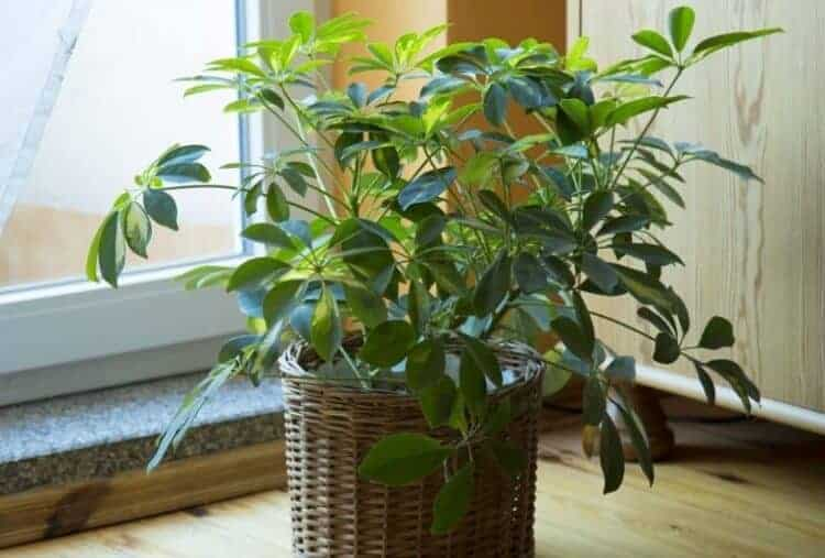 how to grow umbrella plant