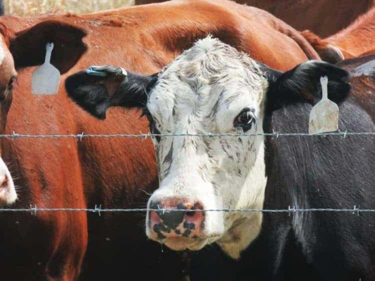 """Cattle ranching in Florida: Each cow at Deseret Ranches has """"an earring"""" with a computer chip in it. (Photo: David Blasco)"""