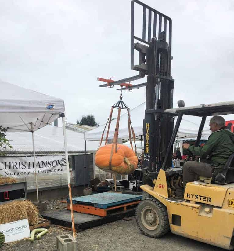 giant pumpkin lifted with a forklift