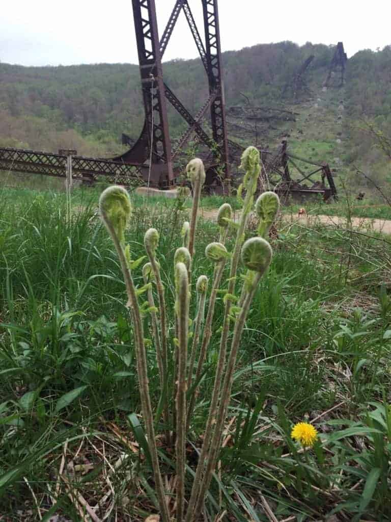 kinzua state park ferns