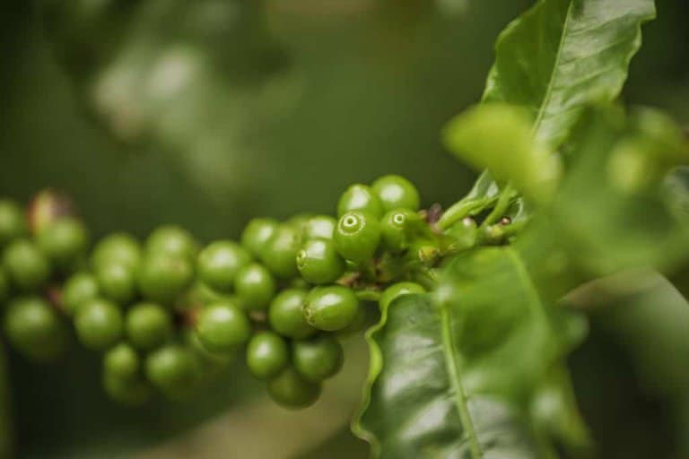 Green coffee beans - flavor affected by altitude