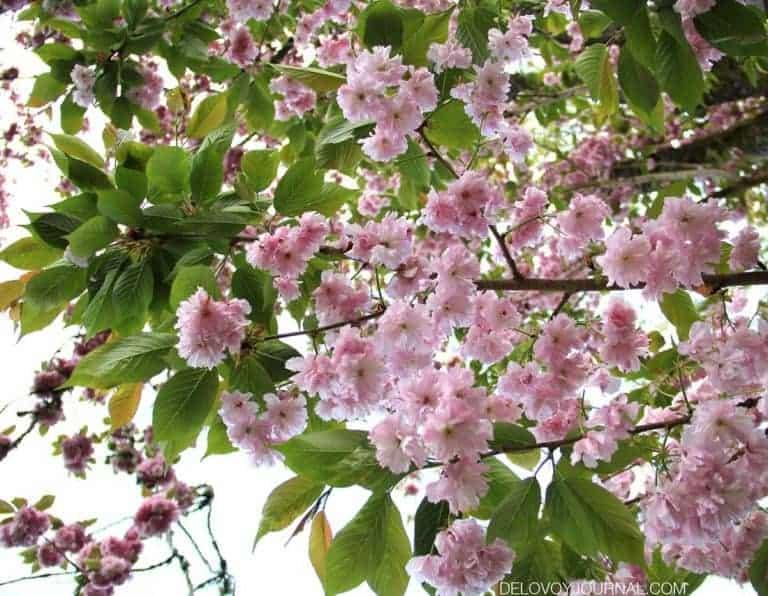 Цветение сакуры: десять интересных фактов + Фото