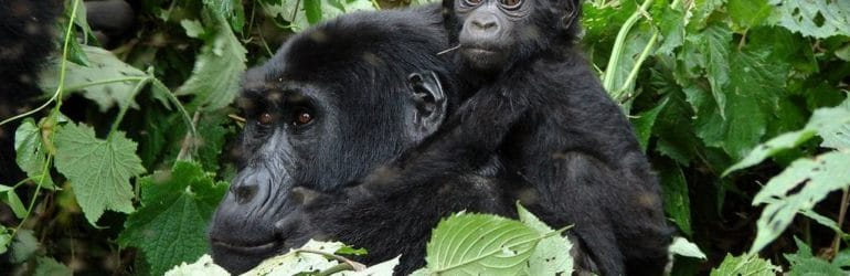 Gorilla tracking in Uganda. Bwindi Impenetrable National Park. Uganda Safari.