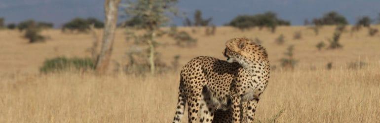 lewa wilderness cheetah