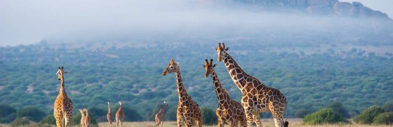 Giraffesinthemist