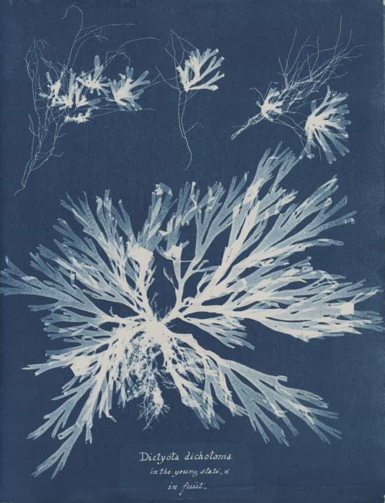 Anna Atkins - Dictyota dichotoma in the young state and in fruit - cameraless cyanotype