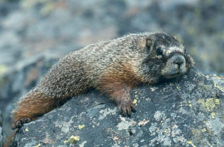 A yellow-bellied marmot, a type of ground squirrel, lies on a rock.  Photo: NPS, public domain.