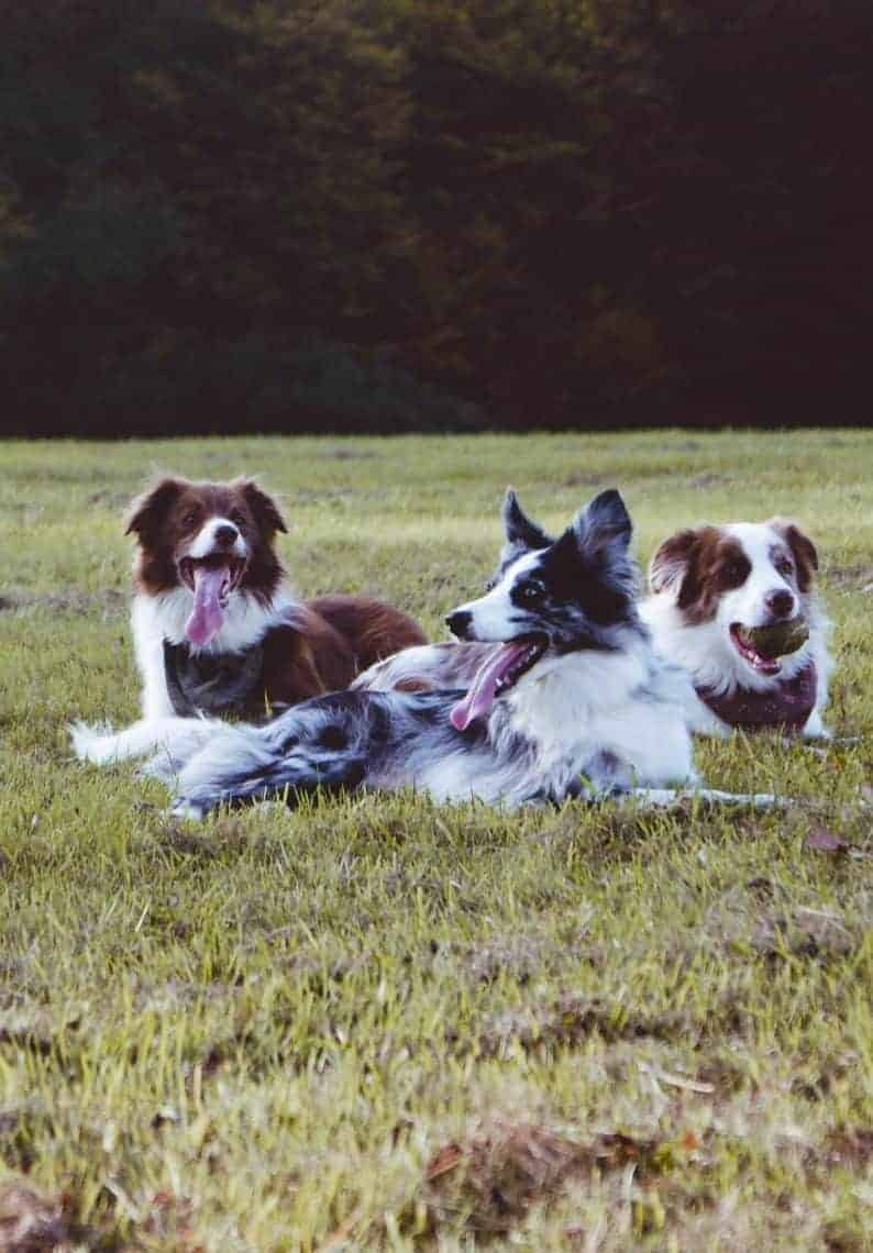 Three dogs laying in grass