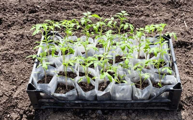 amount of sunlight needed by tomato plants at different growth stages
