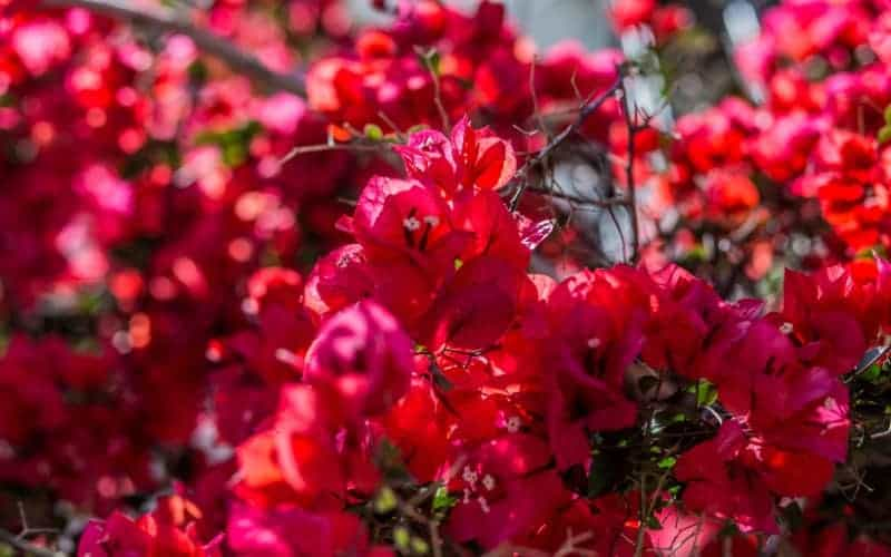 Is Bougainvillea Poisonous to Cats