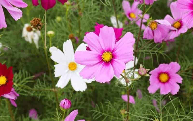 Is Coreopsis Poisonous to Dogs